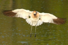 IMG_8763a1-RS-American-Avocet